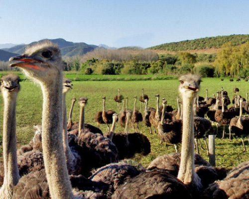 Ostrich Farm near Oudsthoorn